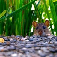 Jak skutecznie pozbyćsię szczurów?